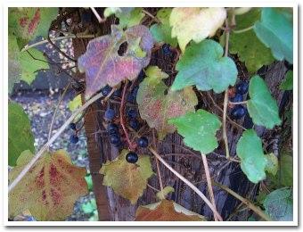 grape061107.jpg