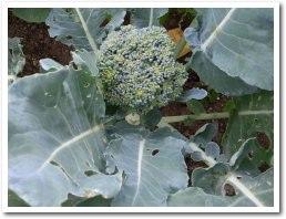 Broccoli080707.jpg