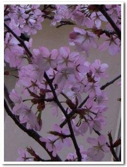 cherry090505.jpg