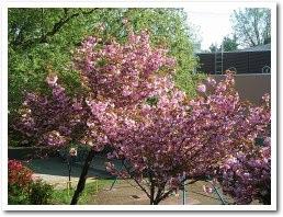 まだ八重桜が咲いています