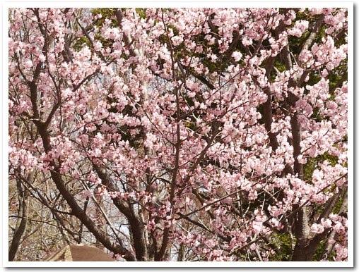 cherryblossoms100509_3.jpg
