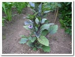 eggplant080707.jpg