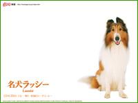名犬ラッシー!