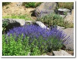 lavender070714.jpg