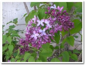 lilac090520_2.jpg