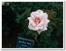 rose070916.jpg