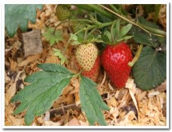strawberry060708.jpg