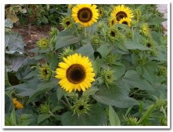 sunflower080821.jpg