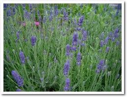 lavender050628.jpg