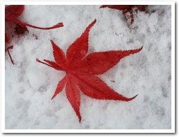 雪の上に紅葉が