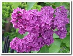 濃い紫のライラック