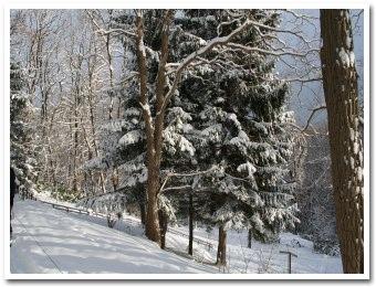 雪に覆われた樹々